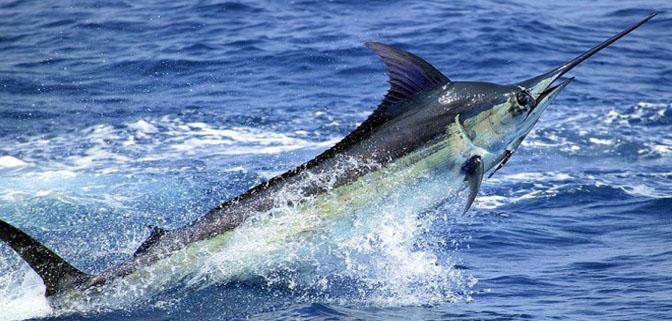 منع صيد سمك بوسيف من 15 فبراير إلى 15 مارس 2017 في منطقة بالبحر الأبيض المتوسط.